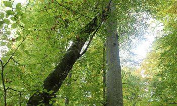 Pisagor Ağacı Nedir Nerede Nasıl Gidilir?