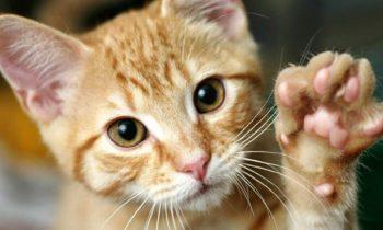 Kediler dengelerini nasıl sağlar? Çok İlginç