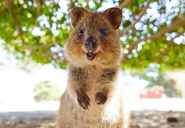 Dünyanın En Mutlu Hayvanı Quokkalar